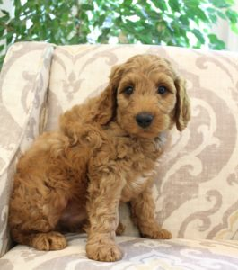 Oregon puppy culture puppies labradoodles