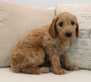 Seattle Salem Portland Labradoodle puppies