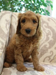 Washington labradoodle breeders Oregon