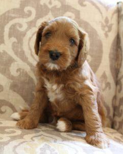 Australian labradoodles standard puppies