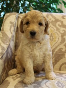 Oregon Australian labradoodle puppies now