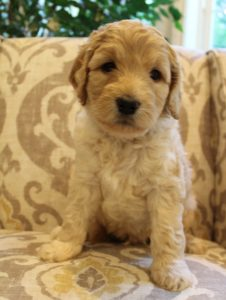 Oregon Australian labradoodle breeders puppies now