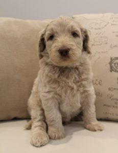Vancouver Portland Salem Mcminnville labradoodles available