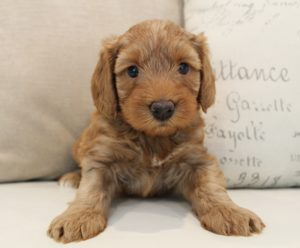 Oregon Puppy culture labradoodles