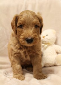 Labradoodle breeders of Oregon