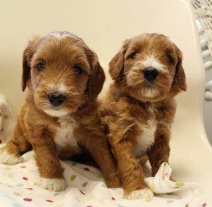 Oregon Washington standard Labradoodle puppies