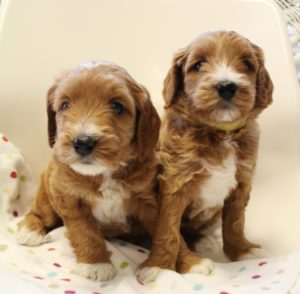 Salem Oregon labradoodles Portland breeders