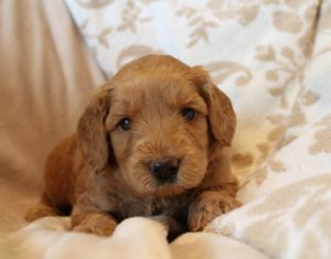 labradoodle puppies Oregon Washington Seattle