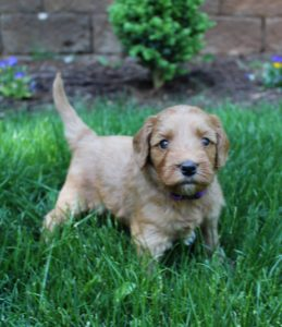 Australian Labradoodles Oregon Washington puppies now