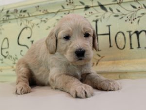 Oregon Australian Labradoodle breeders Seattle Portland Salem