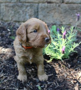 Oregon Washington labradoodles summer puppies