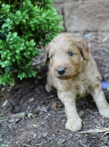 Oregon labradoodles now