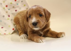 Oregon Australian Labradoodle puppies Seattle Salem Portland