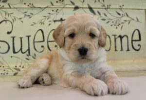 labradoodle puppies Oregon Washington Redding