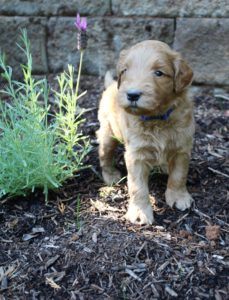 Seattle Portland Oregon Australian labradoodles available now
