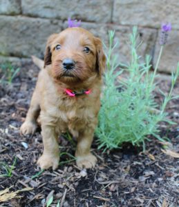 Oregon Australian Labradoodle puppies small medium