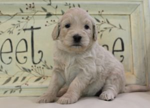 labradoodles puppies breeders Oregon Washington Portland