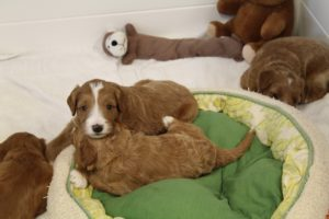 Washington Labradoodle puppies Oregon Beaverton