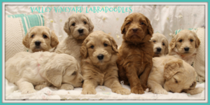 Oregon labradoodle breeders puppies now