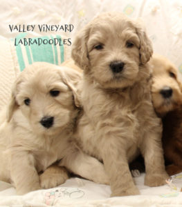 Oregon Washington labradoodle breeders