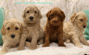 Labradoodle puppies McMinnville Newberg Salem Oregon