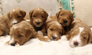 Oregon Australian Labradoodles available now
