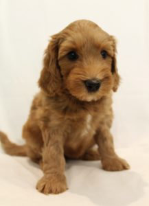 Valley Vineyard Labradoodles Puppy Culture puppies