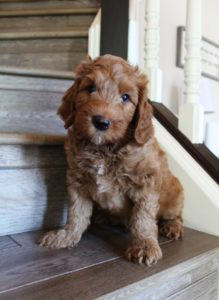 Oregon labradoodle breeders