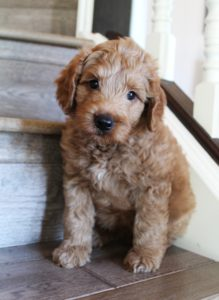 Seattle Portland labradoodle puppies Oregon