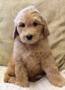 Oregon labradoodle puppies standard size