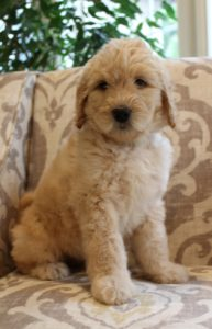 Oregon labradoodle standard puppies