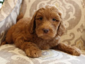 standard Australian Labradoodle puppies Oregon Salem Beaverton