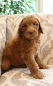 labradoodle puppies Oregon breeders