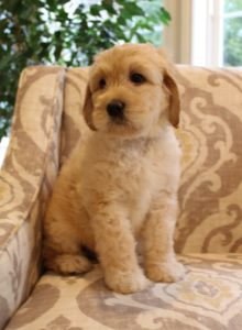 Seattle Portland Oregon Labradoodle puppies now