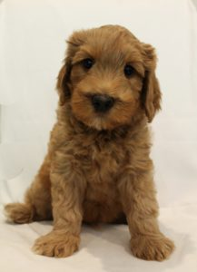 Australian Labradoodle puppies Pacific Northwest non shedding