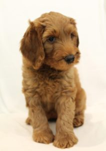 Oregon Australian labradoodle puppies breeders