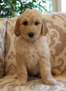 labradoodle breeders Oregon Washington