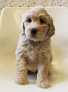 standard labradoodle puppies Oregon