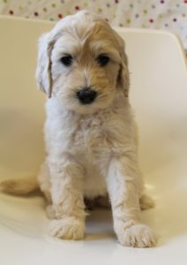 Oregon labradoodles standard size puppies available