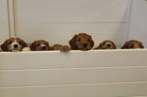 Australian labradoodle standard puppies Washington Oregon breeders