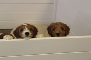 Oregon labradoodle breeders standard pups available