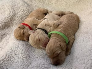 Oregon labradoodle puppies now
