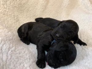 Oregon labradoodles summer puppies available