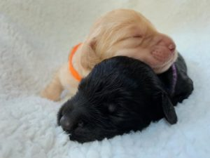 Oregon Australian Labradoodle puppies Salem Sherwod Portland Seattle