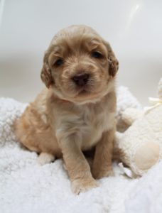 Oregon Australian labradoodle puppies