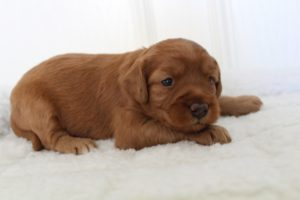 Portland Oregon Salem Australian labradoodle puppies