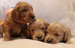 Portland Oregon labradoodle breeders puppies now