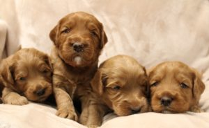 Australian labradoodle puppies available now standard Oregon