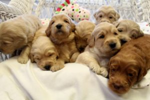 Australian labradoodle puppies oregon Salem Seattle