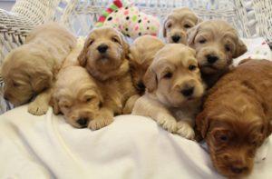 Oregon labradoodles Puppy breeders